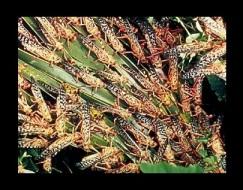 locusts_feeding1